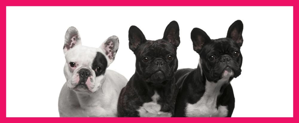 imagem de três bulldog francês